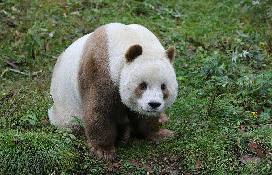 brown-panda003